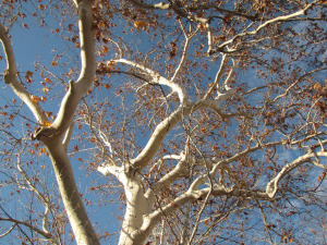 Sycamore tree by Melissa Bowersock