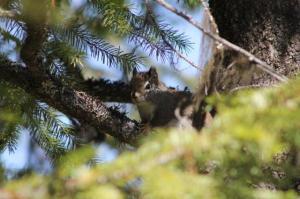 coy squirrel