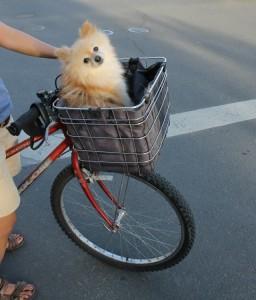 Calistoga Basket Dog writing prompt photo copyright K. S. Brooks.