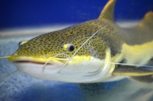 catfish books are rampant on amazon.com fish-216132_640