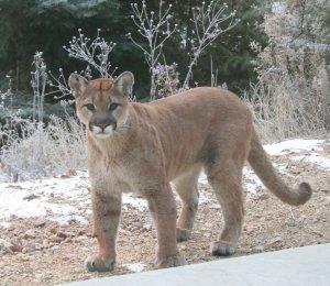 Kat's Cougar