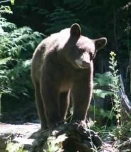 Brown Bear by K. S. Brooks