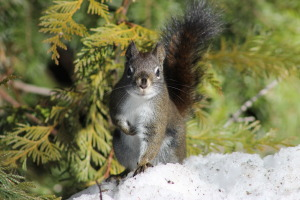 Red Squirrel, Washington State 031814