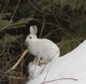 Boots the snowshoe hare by K.S. Brooks