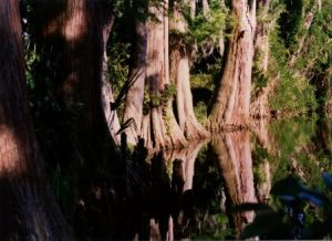 cypress reflection magnolia swamp 1996