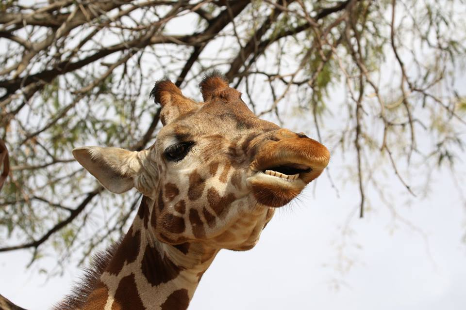 giraffe phoenix zoo flash fiction writing prompt copyright KSBrooks