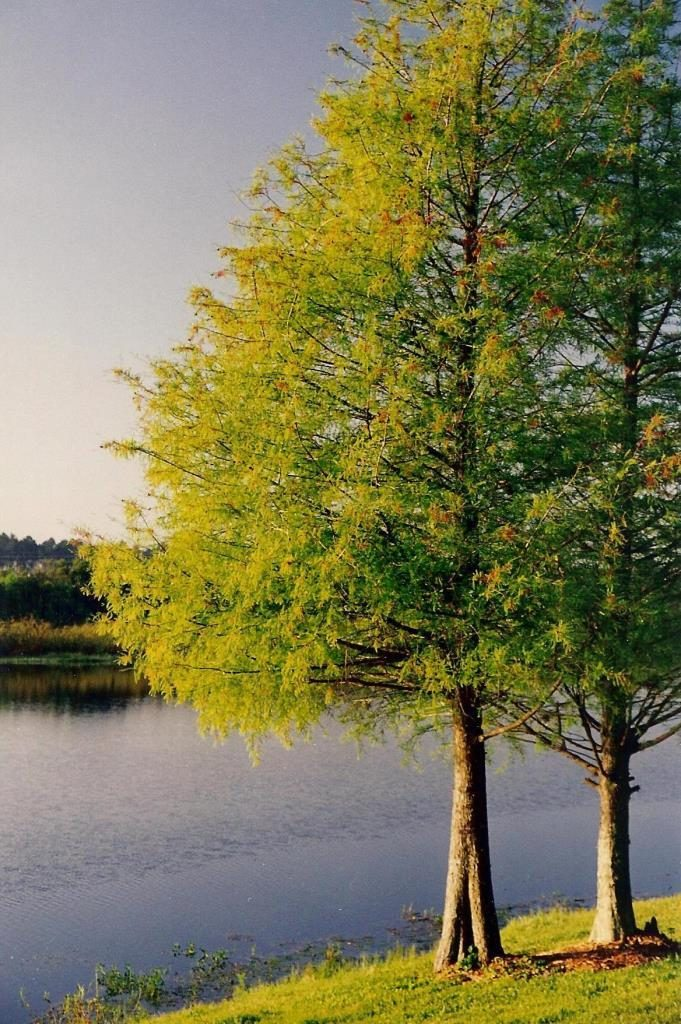 cypress trees orlando 1998 flash fiction writing prompt copyright KS Brooks