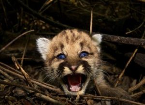 sad author baby-cougar-1065101_960_720