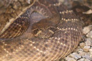 sonoran desert museum snake copyright KS Brooks