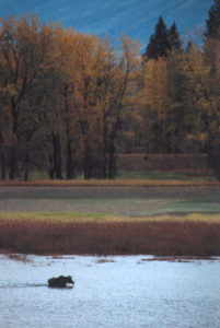 kootenai moose