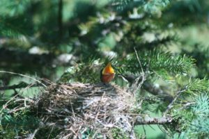 baby robin netherbrook 082513