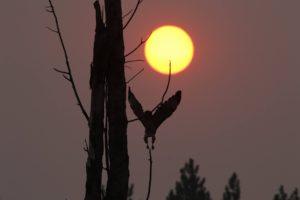 hawk in flight sunset