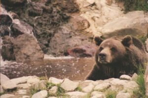 flash fiction prompt grizzly bear copyright KS Brooks 2