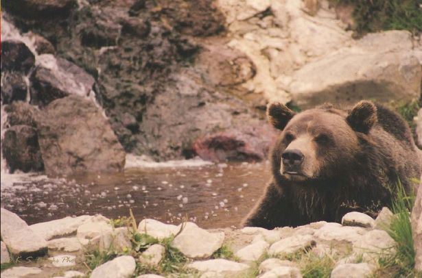 flash fiction prompt grizzly bear copyright KS Brooks 2